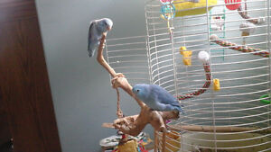 2 parrotlets for loving home
