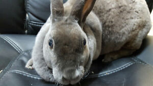 Looking for a Sweet & Soft Small  Bunny to Add to Your Family? Oakville / Halton Region Toronto (GTA) image 6