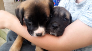 *******Bullmastiffs puppies*******
