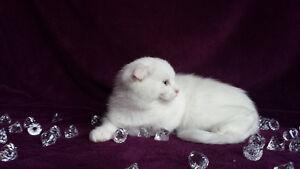chaton scottish fold, oreille pliee (persan, himalayen)