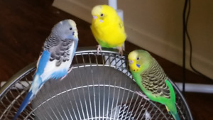 3 budgies, 2 cages, all accessories, food, etc. Collingwood