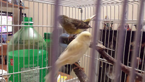 1 pr of american singer baby canaries for sale
