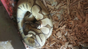 Mojava Spider x  ball  Python for sale