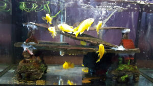 Juvenile  yellow lab mbuna