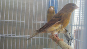 Female American Singer Canaries  for sale