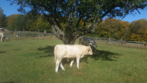Charolais bull calves