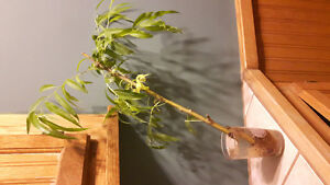 Black willow cuttings