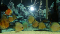 Group of 12 Discus Fish
