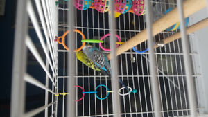 Selling 2 buggie birds with all accessories