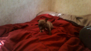 Only 1 Absolutely Gorgeous Chihuahua pup left :)