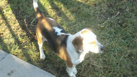 beagle/hound looking for home