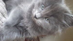 Purrfect fluffy grey kittens ready for their furever homes!!