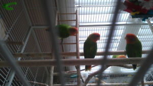 Bird Breeders Alert (6 Love Birds ) - Accepting Best Offer