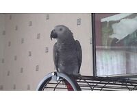 Lovely young male African Grey Parrot