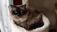 Balinese Cat Free to good home