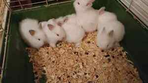 Fluffy baby bunnies for sale