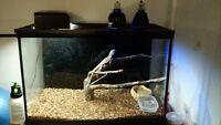 1 Year Old Frilled Dragon, Terrarium and all Accessories