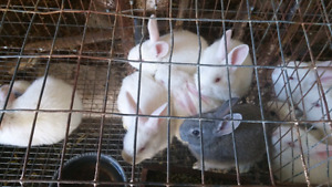 Rabbits for sale!!