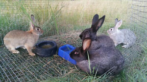 lots of rabbits purebreed flemish giants and crosses ages 2-4.5M