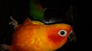 Beautiful, Handtamed Sun Conure Babies for Pets Only.