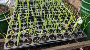 Perennial Leek Seedlings