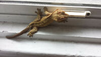 Beautiful Crested Gecko and all accessories