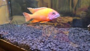 5in Male Super Ruby Red Peacock African Cichlid