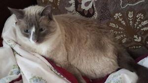 Half Siamese half Rag Doll Male Cat to Rehome