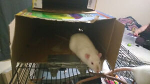 Rats free to a good home