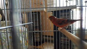 Black Hooded Red Siskin Mule Mix With Canary Very Good Singer (G