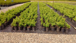 Boxwood Bushes for Hedging