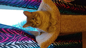 Grey male fixed cat lost from Delisle