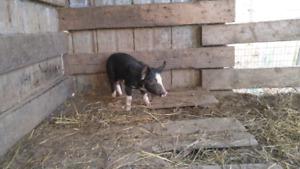 Porcelet berkshire, cochon