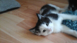2 Beautiful Female Kittens With Supplies