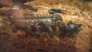 Juvenile emperor scorpion and set up.