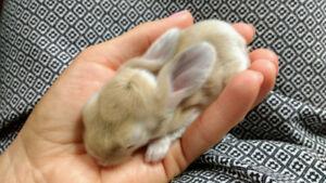 Baby English Lop Rabbits