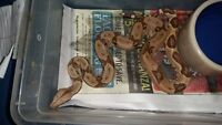 Baby Boa's for sale reduced price