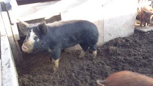 10 month old Berkshire boar