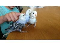 Fully tamed budgies