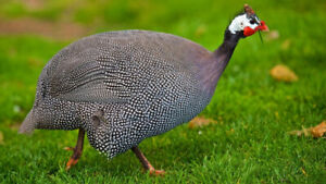 WANTING TO BUY GUINEA FOWL