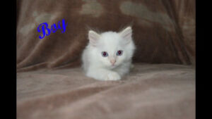 Ragdoll kittens only 3 left