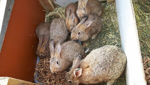 6 Flemish x New Zealand rabbits for sale. Meat breeds born July