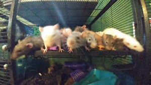 Wonderful male and female rats looking for forever homes. :)