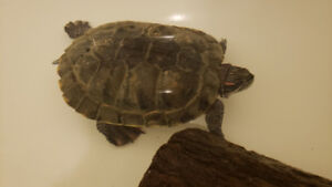 Red Ear Turtle Fully Grown 10 Years Old Seeking new home