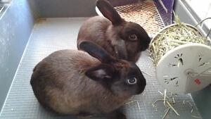 2 lapins + cage + accessoires