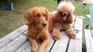 red&apricot f1 med & st sized golden doodles, ready at Xmas!