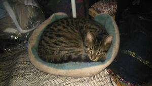Lost! Young male gray tabby cat