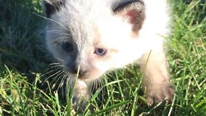 Seal Point Siamese Cross Kittens! 1 SOLD & 4 LEFT!