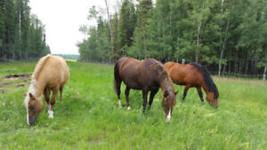 3 Curly Horses for Sale