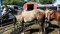 2009 gelding ranch horse